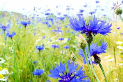 La fleur bleue des Wandervögel